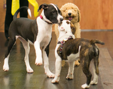 Puppy Playtime at School For The Dogs NYC