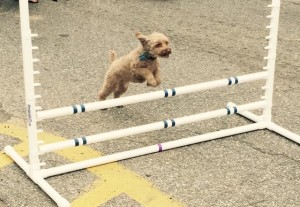 Intro to Agility at School For The Dogs