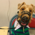 welsh terrier dog in muzzle at school
